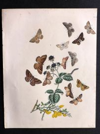 Humphreys & Westwood British Moths 1845 Hand Col Print 67
